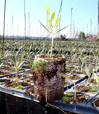 Transporte de plantas de olivo